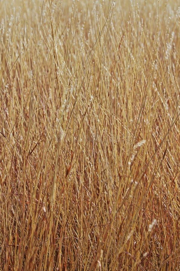 Sluit van het Gebied van het de Zomergras van Gouden Bruin Gras na zijn Gestegen naar Zaad royalty-vrije stock fotografie