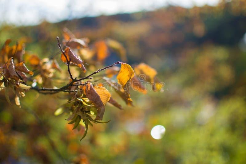 Sluit van oranje bladeren op een tak in de herfst met defocused omhoog achtergrond royalty-vrije stock fotografie