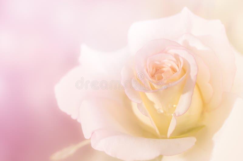 Sluit van verse lichtrose steeg bloem stock afbeelding