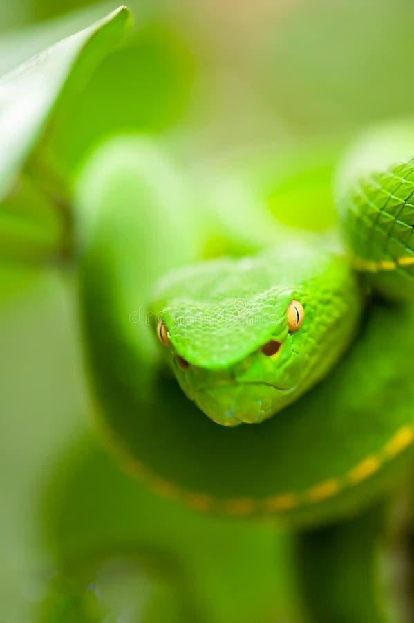 Sluit, Vogel's Groen Pit Viper in de wilde boom, de adembenemende ogen, de kleuren en de huid van Groen Pit Viper, het National royalty-vrije stock foto's