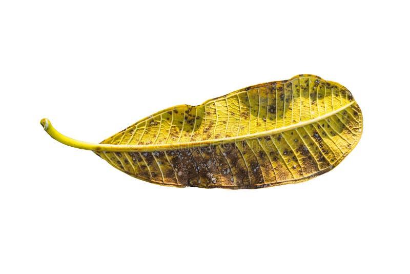 Sluit Yellow tropical leaf Plumeria, Frangipani, geïsoleerd op witte achtergrond. royalty-vrije stock afbeelding