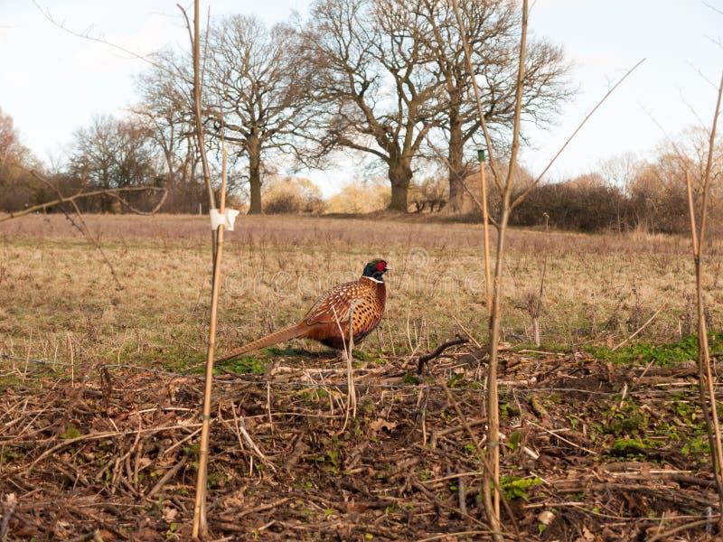 sluit zijdelings omhoog mening van mannelijke fazant in landbouwbedrijfgebied het weiden stock foto