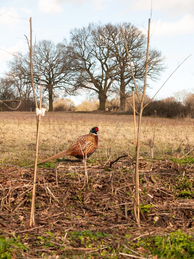 sluit zijdelings omhoog mening van mannelijke fazant in landbouwbedrijfgebied het weiden royalty-vrije stock afbeeldingen