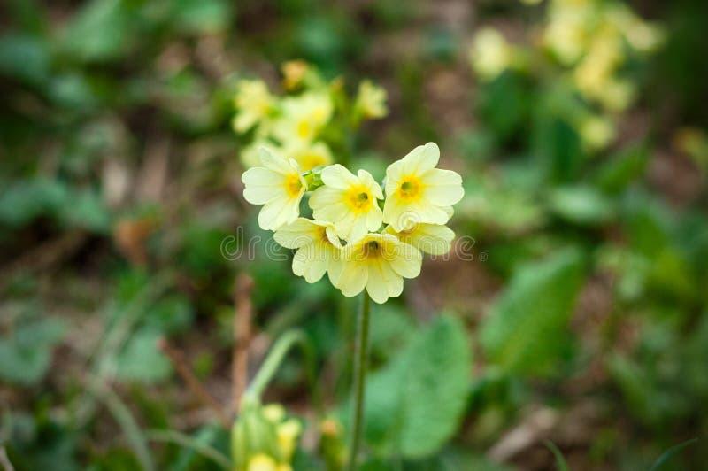 Sluiten de veris gele bloemen van de sleutelbloemprimula omhoog in een kalkweide van een natuurreservaat in Duitsland stock afbeeldingen