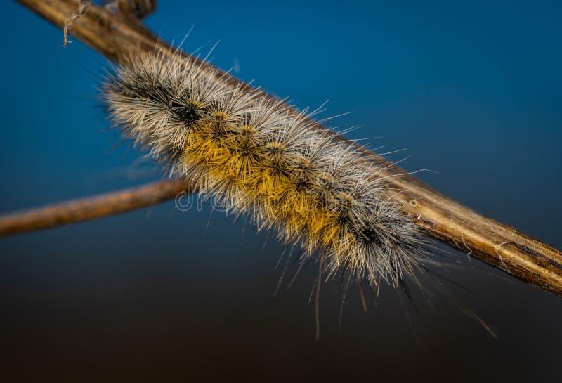 Sluiten Foto van Brown Moth Caterpillar stock foto's