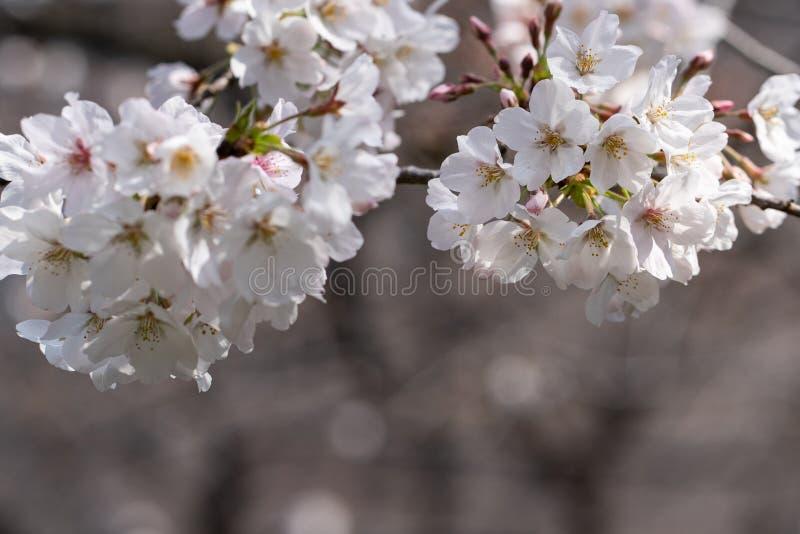 Sluiten van Cherry Blossom of Sakura bloemen in Japan royalty-vrije stock afbeeldingen