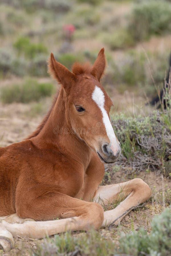 Sluiten van een Wild Horse Foal Bedded in Utah stock afbeeldingen