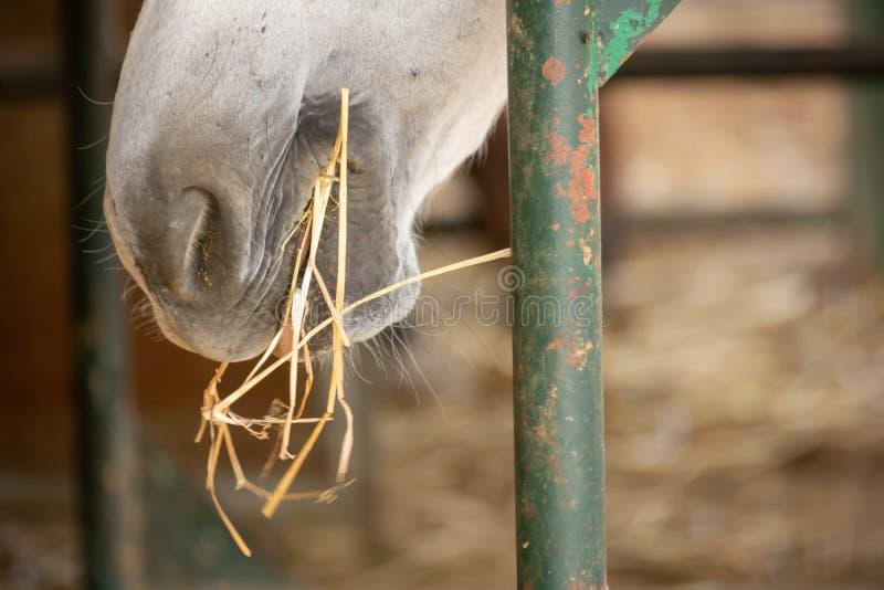 Sluiten van White Horse Eating Hay royalty-vrije stock afbeeldingen