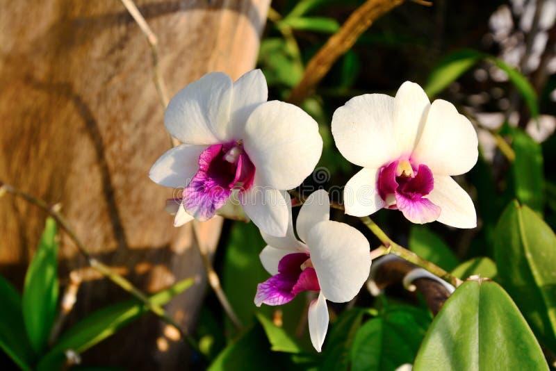 Sluiten van witte orchideeën op takken stock afbeelding