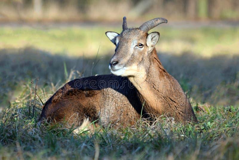 Sluiting jonge Mouflon Male Lying in Grass Winter Ovis Aries Musimon royalty-vrije stock foto's