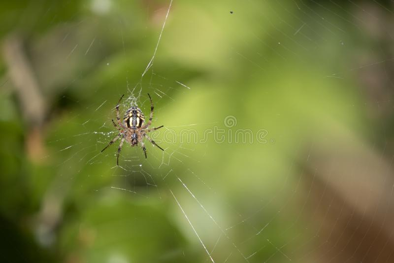 Sluiting van Araneus diadematus spin op het net stock afbeeldingen