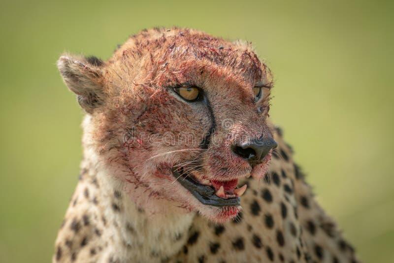 Sluiting van cheetah met een bloedig gezicht royalty-vrije stock afbeeldingen