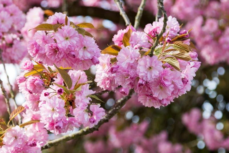 Sluiting van de Japanse kersenboom in de sluiting royalty-vrije stock foto's