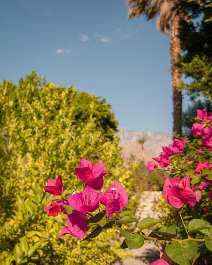 Sluiting van de roze bougainvillea royalty-vrije stock foto