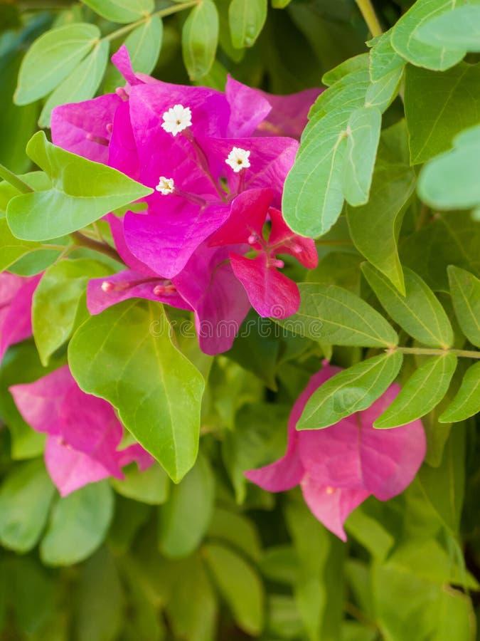 Sluiting van de roze bougainvillea royalty-vrije stock afbeeldingen
