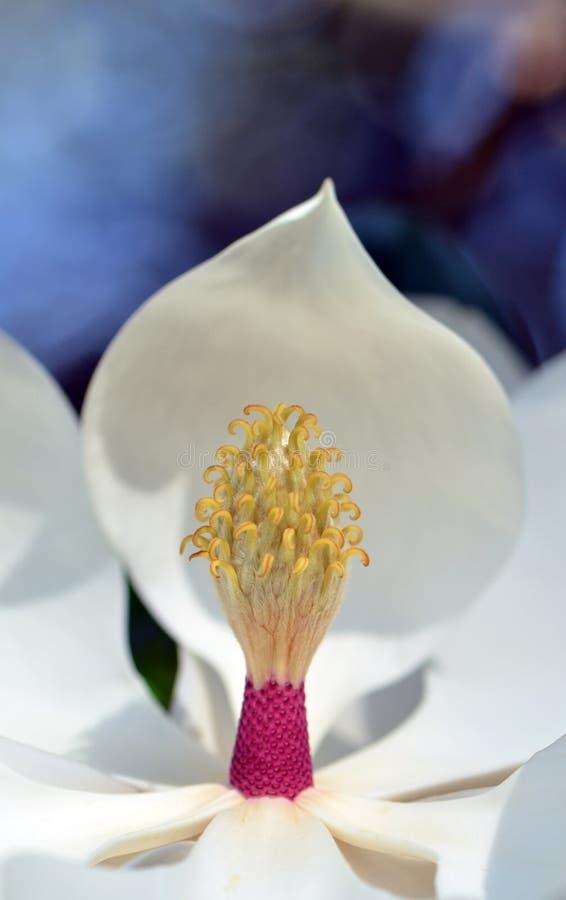 Sluiting van een bloempotje van magnolia grandiflora en stempels royalty-vrije stock foto's