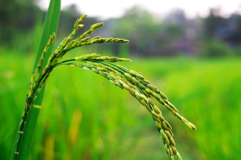 Sluiting van het perceel van de gele en groene padie met groen blad en zonlicht in de dagtijd stock afbeeldingen