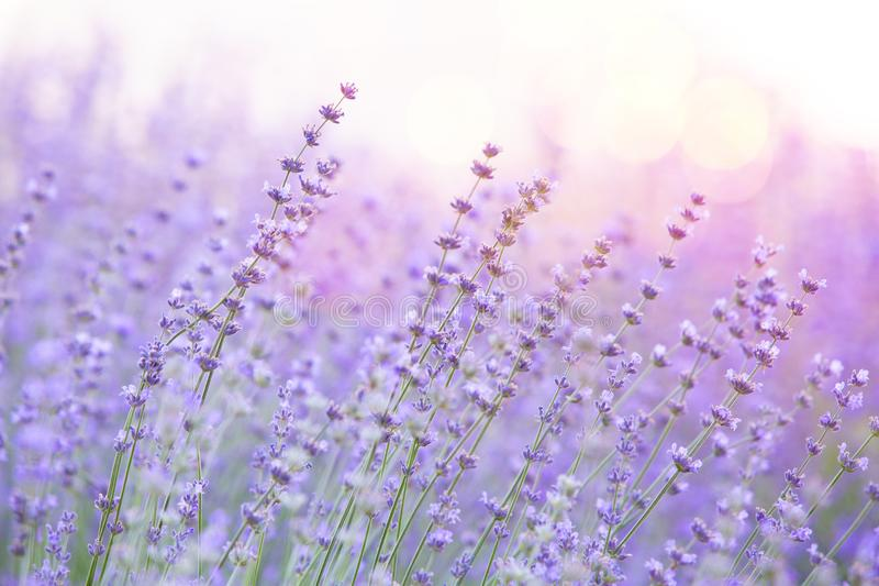 Sluiting van lavenderstruiken op zonsondergang Zonnegleam over paarse bloemen van lavendel Provence-regio in frankrijk stock foto