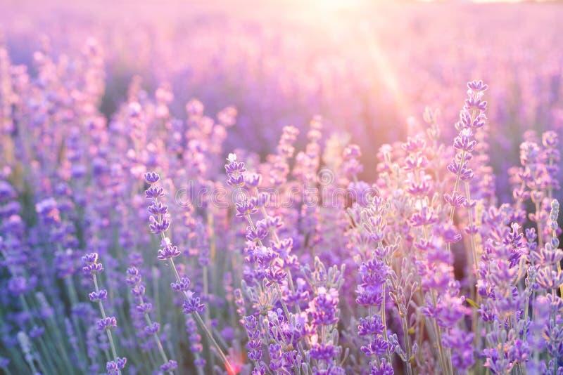 Sluiting van lavenderstruiken op zonsondergang Zonnegleam over paarse bloemen van lavendel Provence-regio in frankrijk royalty-vrije stock afbeeldingen