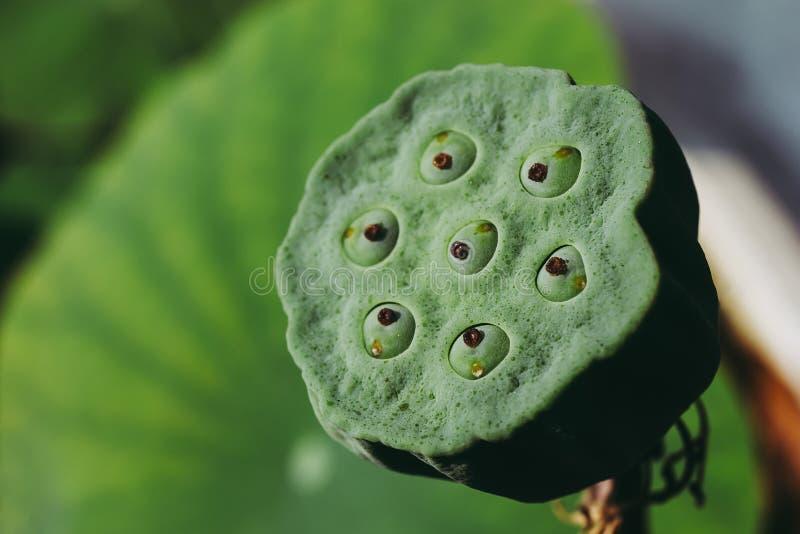Sluiting van Lotus-zaad in peul royalty-vrije stock afbeeldingen