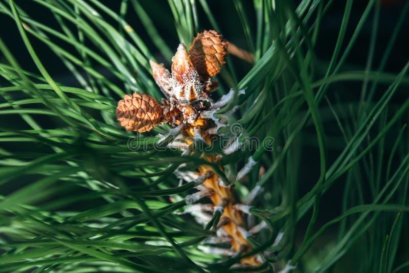 Sluitingsweergave van dennenknoppen en een kleine kegels onder groene naalden Macro van mooie takken van een evergroene boom royalty-vrije stock foto