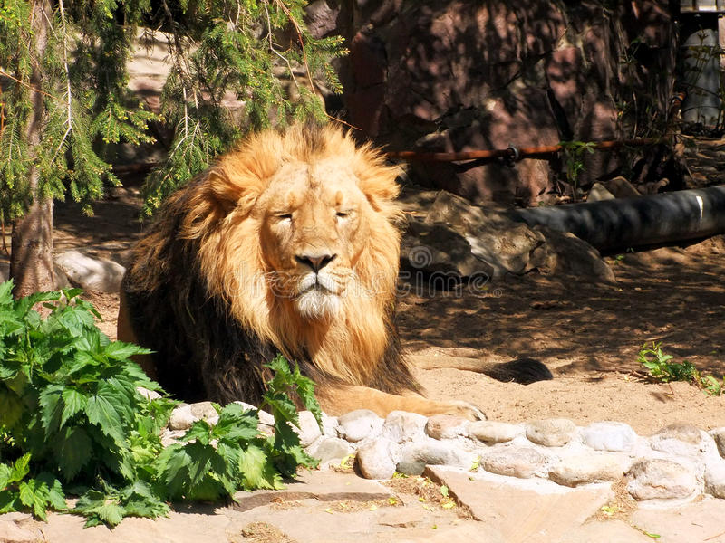 Slumbering lion stock photography