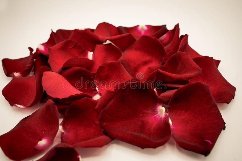 Slumpmässiga rosa kronblad mot vit bakgrund Utmärkt för presentat royaltyfri foto