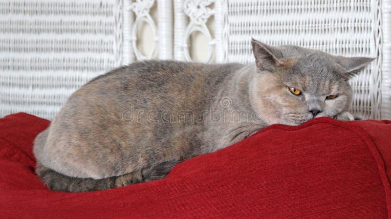 Slumra För Katt Royaltyfri Fotografi