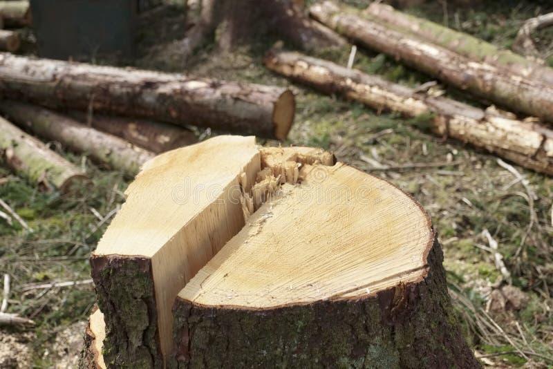 Slut av trädstammen av snittet ner träd på att avverka skogen arkivbilder