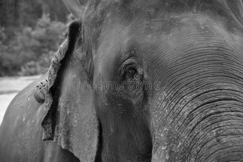 Slut för asiatisk elefant upp fotoet arkivfoton