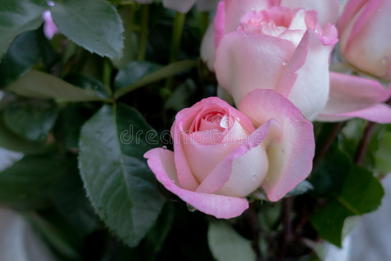 Slut för blommarosa färgros upp för för festivaldag för valentin romantiska lodisar royaltyfria bilder