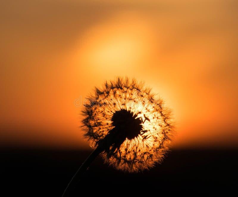 Slut för blomning för himmel för sommar för ljus för maskrossolnedgångmakro orange upp fotografering för bildbyråer