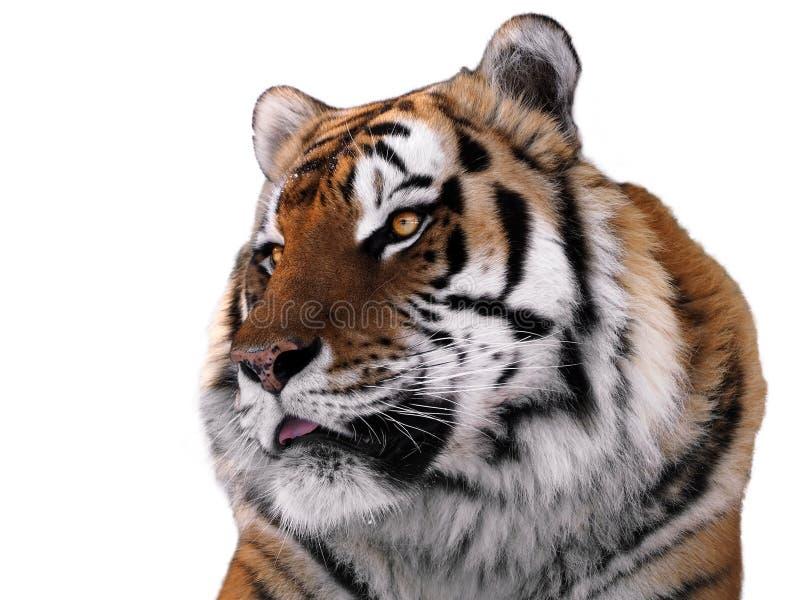 Slut för framsida för tiger` som s isoleras upp på vit arkivbild