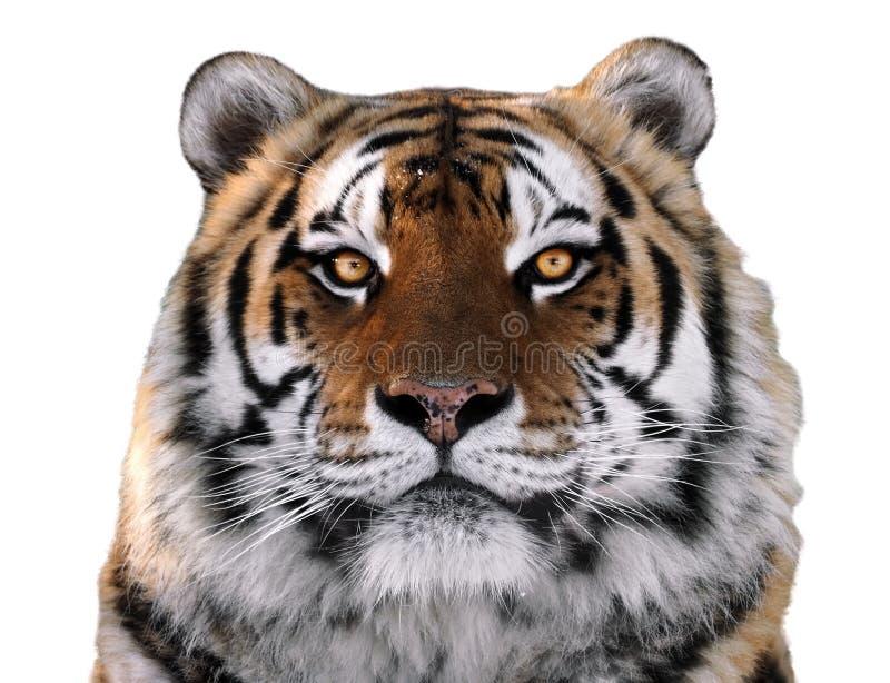 Slut för framsida för tiger` som s isoleras upp på vit som ser kameran arkivbild