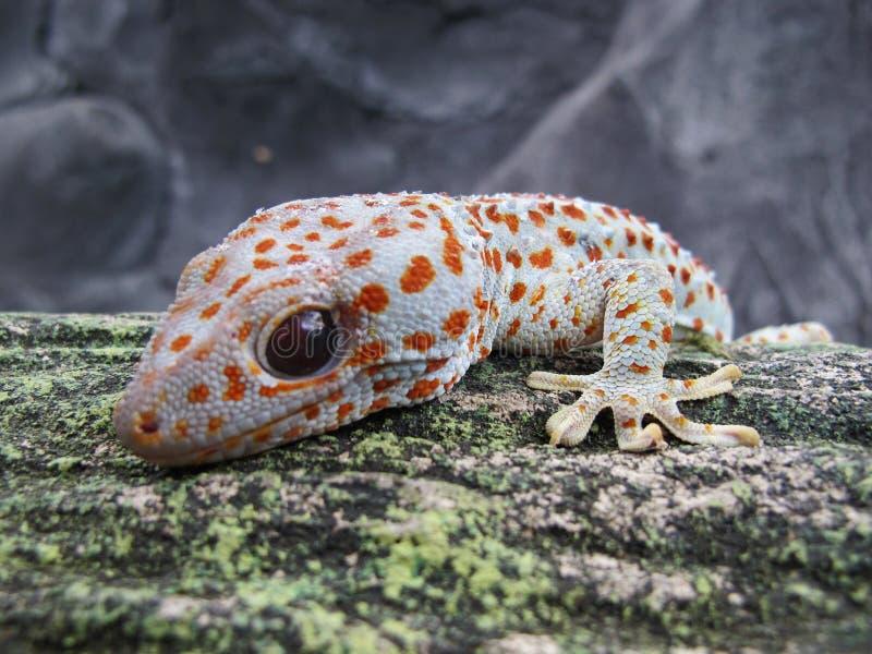 Slut för gecko för Tokay geckogecko upp sikt royaltyfria foton