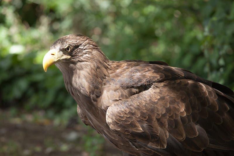 Download Slut för guld- örn upp fotografering för bildbyråer. Bild av huvud - 37344481