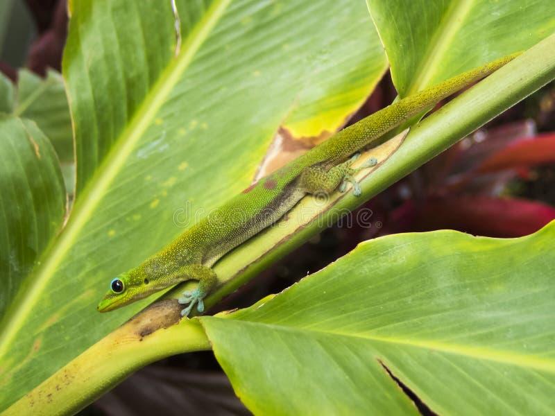 Slut för guldstoftdaggecko upp profil på bladet i Hawaii royaltyfri fotografi