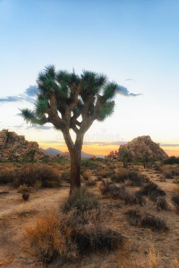 Slut för Joshua träd upp på solnedgången i Joshua Tree National Park, Kalifornien arkivbilder