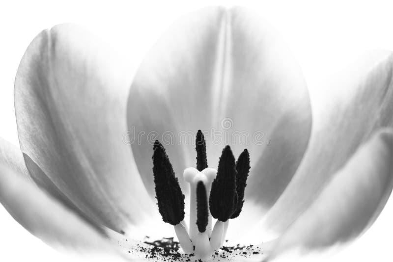Slut för makro för tulpanblomma extremt upp Inre blomma för detaljtulpan med pistillen och ståndare, glödtråd, stigma, synliga kr fotografering för bildbyråer