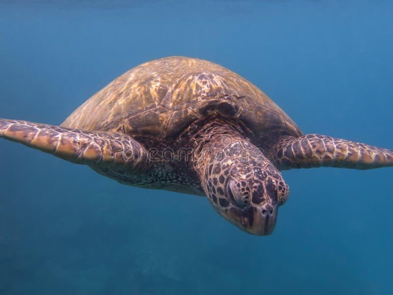 Slut för sköldpadda för grönt hav upp framsida i det blåa havet royaltyfri foto