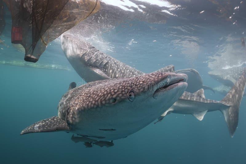 Slut för valhaj upp den undervattens- ståenden royaltyfri fotografi