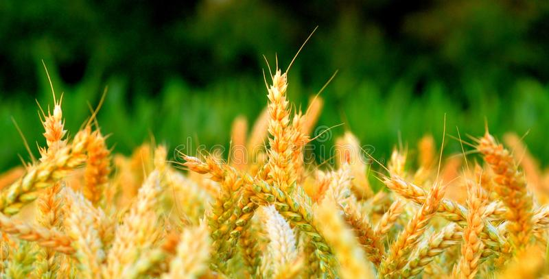 Slut för vetefält upp med gult och grönt royaltyfri fotografi