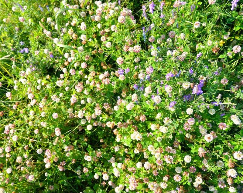 Slut för vit växt av släktet Trifolium upp fotografering för bildbyråer