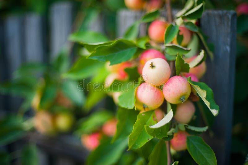 Slut upp äppleträdfilial med röda smakliga äpplen som är klara att skördas Tung filial på ett staket royaltyfria foton