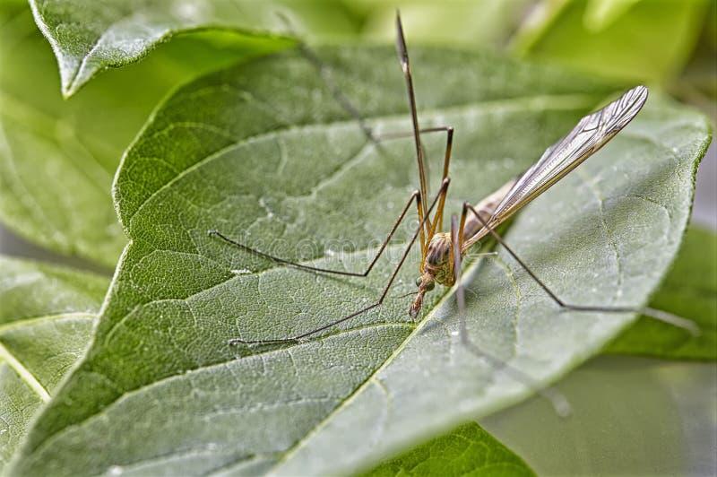 Slut upp att stapla för fokus - stor Kran-fluga, kranfluga, jätte Cranefly, Tipula maximum royaltyfria foton