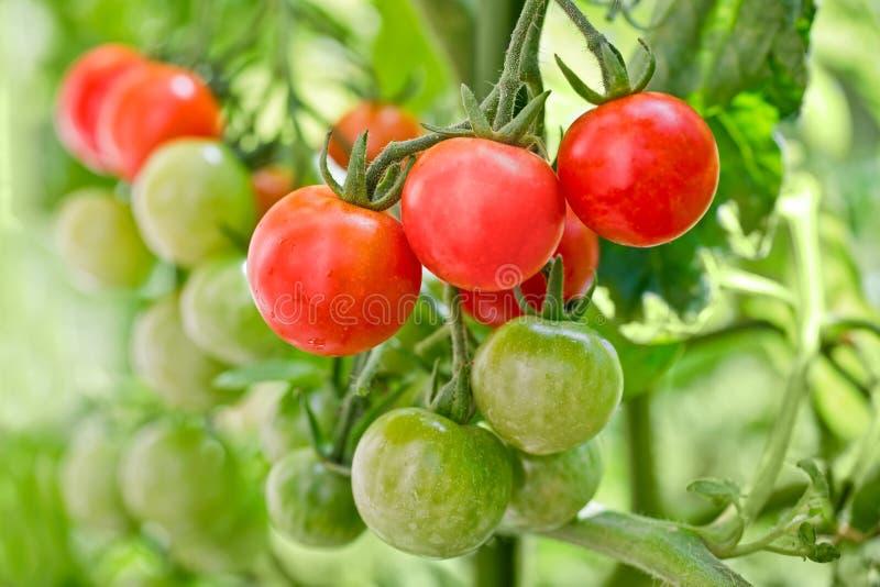 Slut upp av att växa för körsbärsröda tomater royaltyfria foton