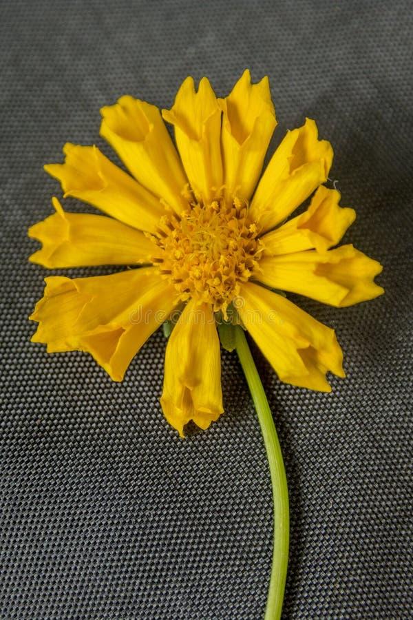 Slut upp av att vagga den gula blomman arkivfoton