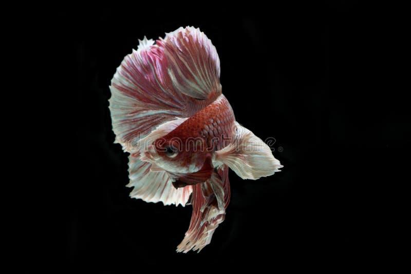Slut upp av bettafisken royaltyfri bild