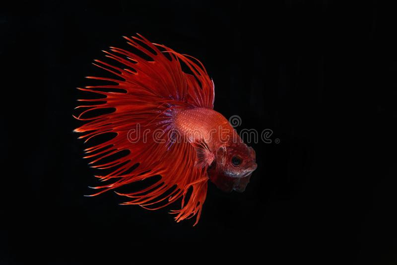 Slut upp av bettafisken royaltyfria bilder