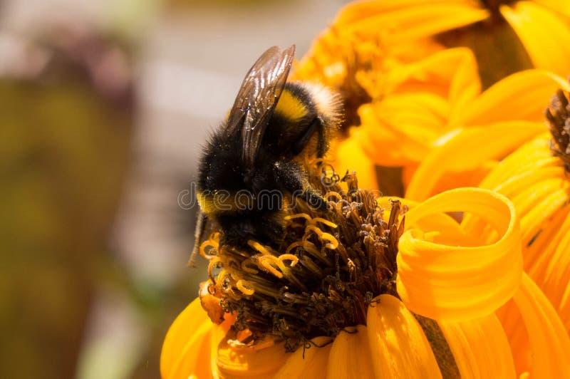 Slut upp av biet på blomman royaltyfri bild